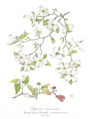 Wendy Cortesi Print, Dogwood